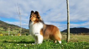 Sable_shetlandsheepdog_asturias
