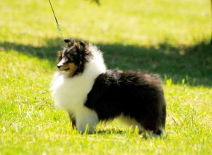 asturshelkie_moonlight_shadow_trisheltie