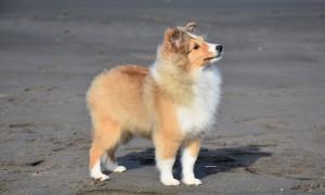 criadorshetlandsheepdog_sable