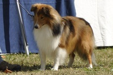 lasborras_all_in_one_sheltie