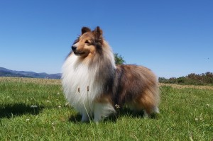 sable_sheltie_asturshelkie