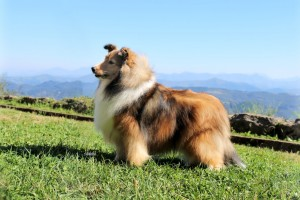 sheltie_asturshelkie_sable_multi_campeon