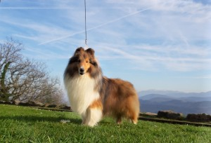sheltie_sable_asturshelkie
