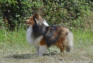 sheltie_sable_cachorros
