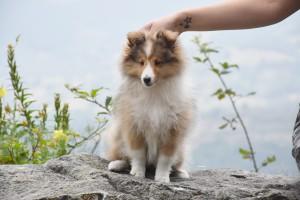 shetland_asturshelkie_sable_cachorro