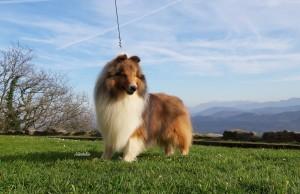 shetland_sheepdog_sable_asturshelkie