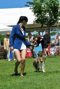shetland_sheepdog_asturias_trasto