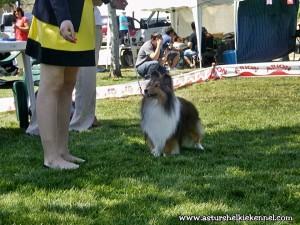 shetland_sheepdog_asturshelkie_shelties