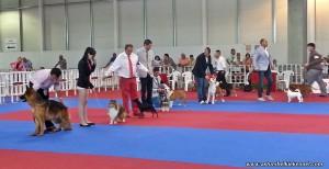shetlandsheepdog_elvas_juniorbis
