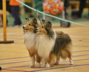 shetland_sheepdog_asturshelkie