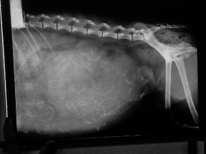 radiografía asturshelkie shelties