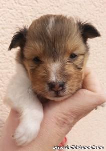 Cachorra Shetland Sheepdog