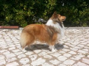 shetland_sheepdog_asturshelkie_montijo