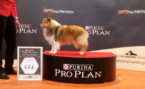Asturshelkie_shelties
